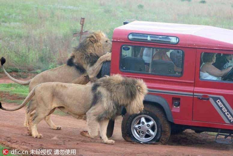2015年11月11日报道,坦桑尼亚塞伦盖蒂国家公园,日前,在坦桑尼亚塞伦盖蒂国家公园的一辆游览车遭到了群狮的围攻,着实吓坏了车内的游客。向导伊曼纽尔-巴约(Emmanuel Bayo)拍摄下了这些惊人的画面。画面显示,这群饥饿的狮子不仅猛啃览车的轮胎,还试图撞碎加固的玻璃窗,场面实在惊人。东方IC