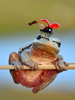 土耳其瓢虫爬上青蛙头顶 片刻飞走