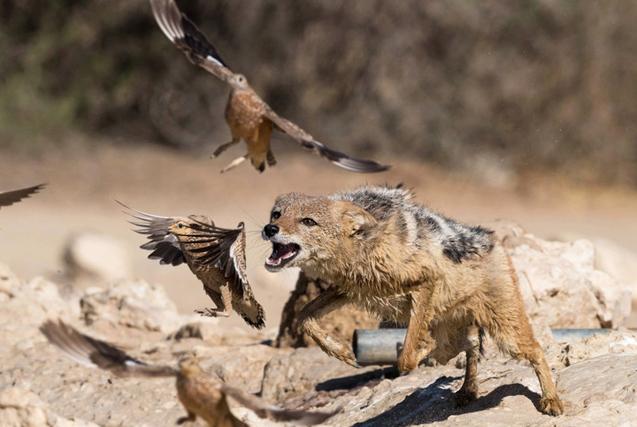 南非饥饿胡狼上演惊艳高空捕食