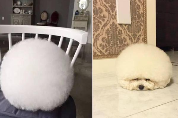 你绝对想不到,这个白毛球竟然是只汪
