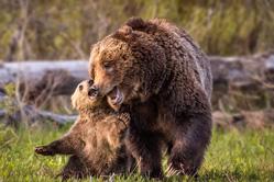 美摄影师拍摄小灰熊拥吻妈妈亲密瞬间