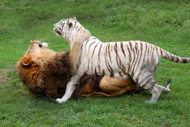 最佳朋友!狮子与老虎朝夕相处 亲密无间