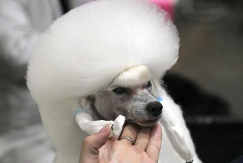 萌狗齐聚泰国参加国际狗狗大赛