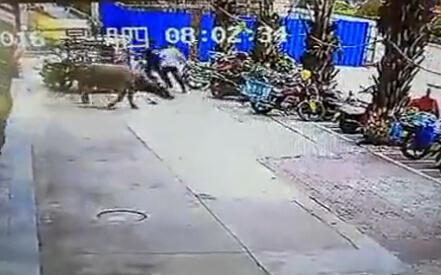 云南水牛发疯 骑车女被撞飞满身是血