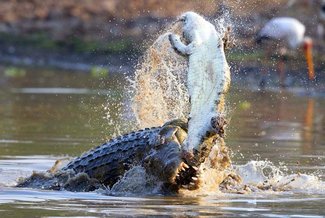 非洲鳄鱼残暴攻击小鳄鱼 画面震撼