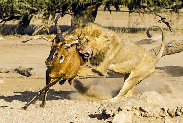 南非饥饿猛狮极速追捕羚羊终获盘中餐