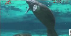 美国:女孩海中邂逅海牛