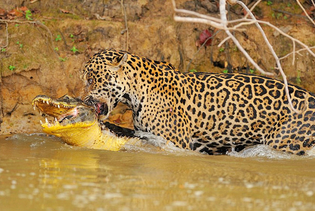 巴西美洲豹河边突袭鳄鱼并成功猎杀