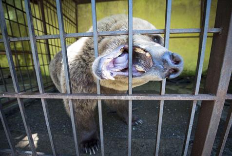阿尔巴尼亚棕熊被圈禁揽生意 抑郁自残