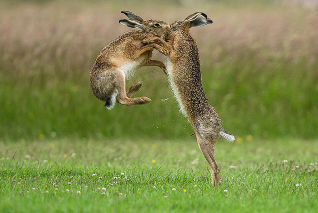 摄影师实拍野兔求偶 打斗激烈似拳击