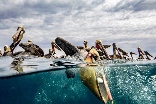 摄影师墨西哥拍褐鹈鹕疯狂抢食场景