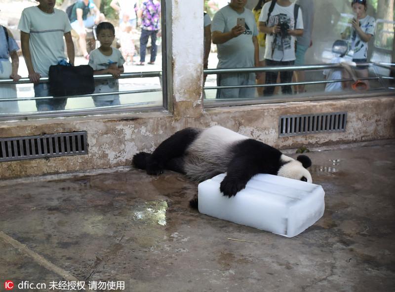 """武汉气温高达36度 大熊猫抱冰块打滚""""生无可恋""""萌萌哒"""
