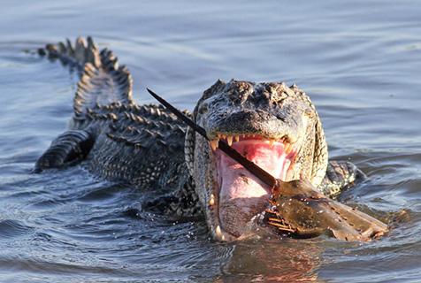 摄影师拍摄鳄鱼捕食马蹄蟹 难以下咽