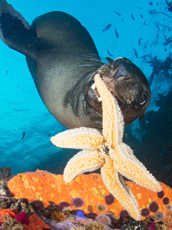 南非小海豹热情好客 叼海星送潜水员