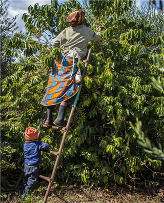 走进赞比亚咖啡种植园 寻咖啡豆收割之旅