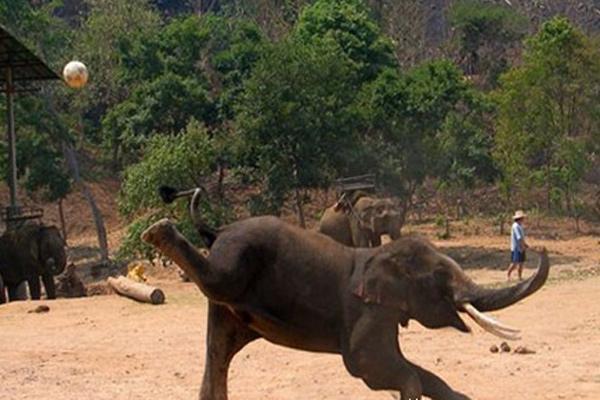 成精了!泰国吉祥物大象会后腿踢球加扣篮