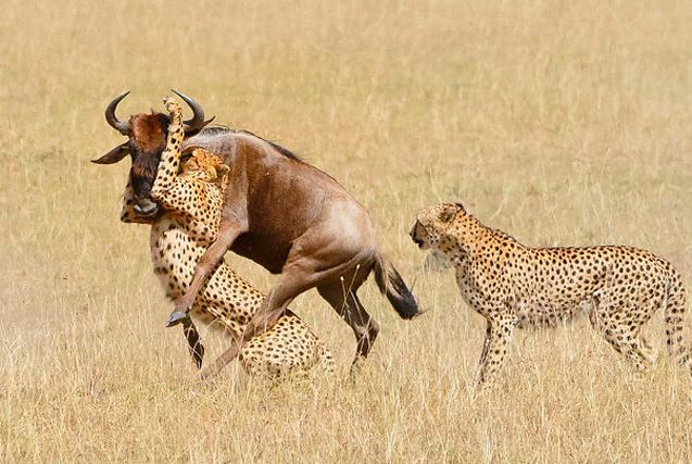 肯尼亚猎豹闪电速度捕食牛羚 一招锁喉