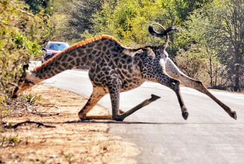 长颈鹿跑步不慎滑倒 摔个大马趴