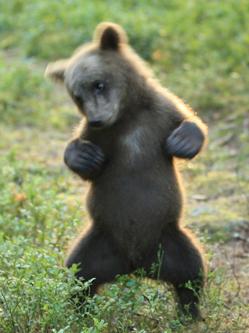 芬兰熊宝后腿站立狂舞 摆pose似狂欢