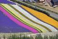 北海道鲜花盛开似花毯