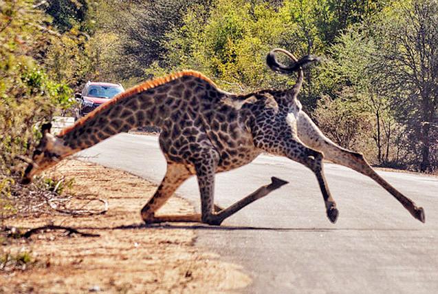 非洲长颈鹿跑步不慎滑倒 摔个大马趴