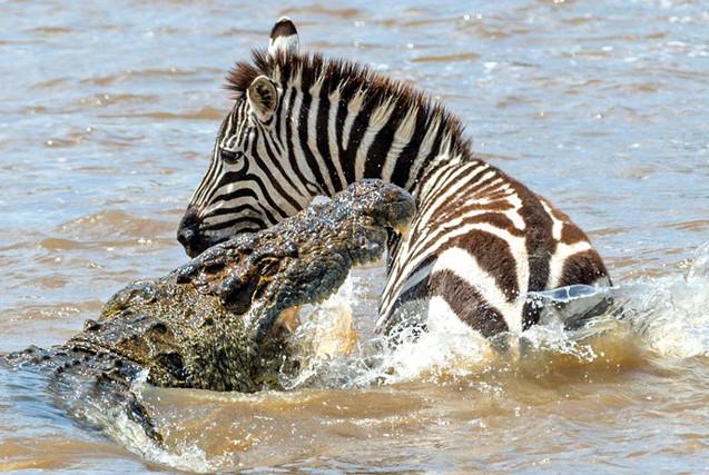 肯尼亚斑马过河遭巨鳄袭击 身手矫捷终逃脱