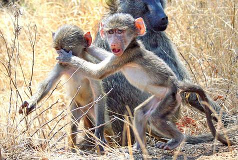 南非狒狒手护朋友 似禁止摄影师拍照