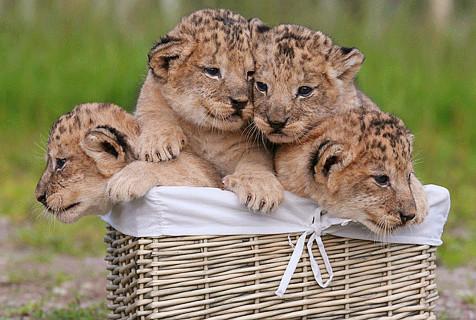 英动物园四只幼狮首次体检萌态百出