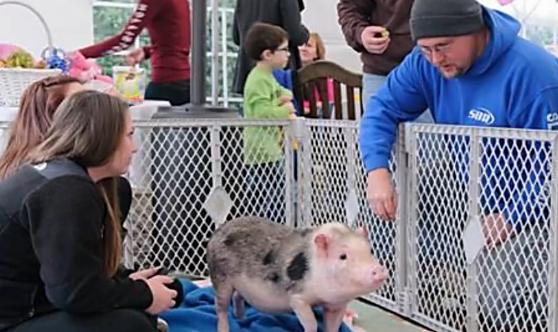 宠物猪险变烤乳猪