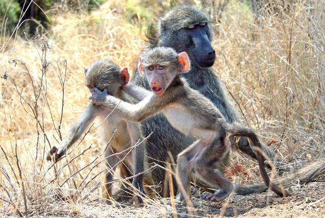 南非狒狒手护同伴 似禁止摄影师拍照