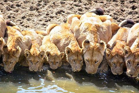 南非狮群水塘边饮水 排排坐不忘规矩