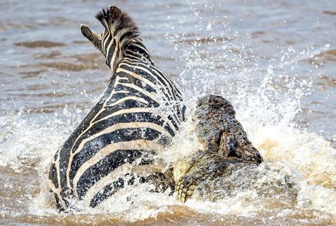 斑马过河遭巨鳄袭击 身手矫捷终逃脱