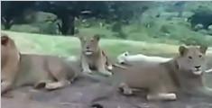 狮子扒开游客车门
