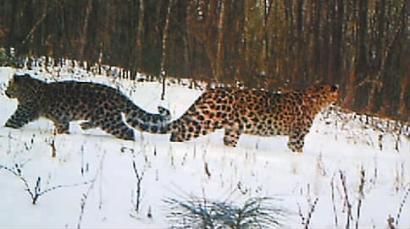 吉林汪清发现新东北豹家族 母豹带着幼崽活动