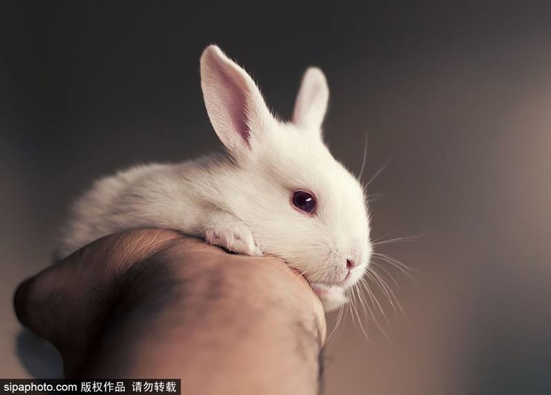 """ashraful收养孟加拉国达卡,他说:""""2014年我来自了两只兔子,此后我就以大山雀属于晚成雏图片"""