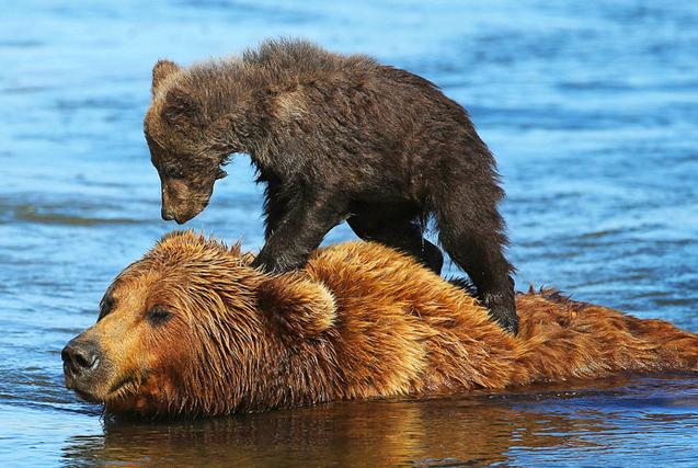图片一周精选 熊宝宝骑妈妈背上过河