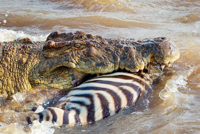 肯尼亚鳄鱼水中猎杀斑马 场面血腥