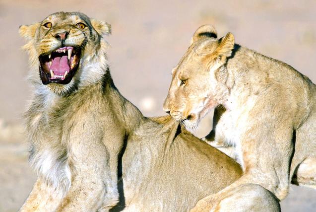 图片一周精选 小狮子遭撕咬表情狰狞