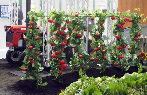 松下将研发西红柿采摘机器人 应对劳动力不足