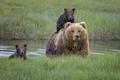 熊妈妈背怕水熊宝过河