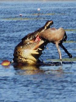 惊险一幕!澳大利亚鳄鱼30秒吞食袋鼠