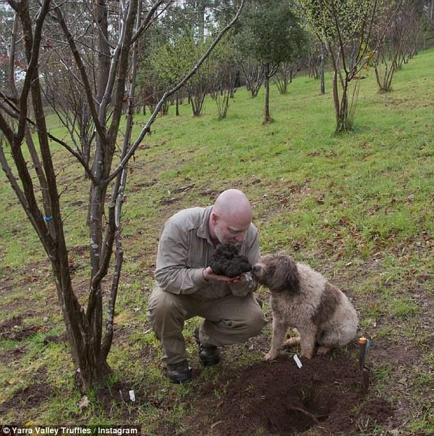 澳发现世界最大松露 重3斤价值约2万元
