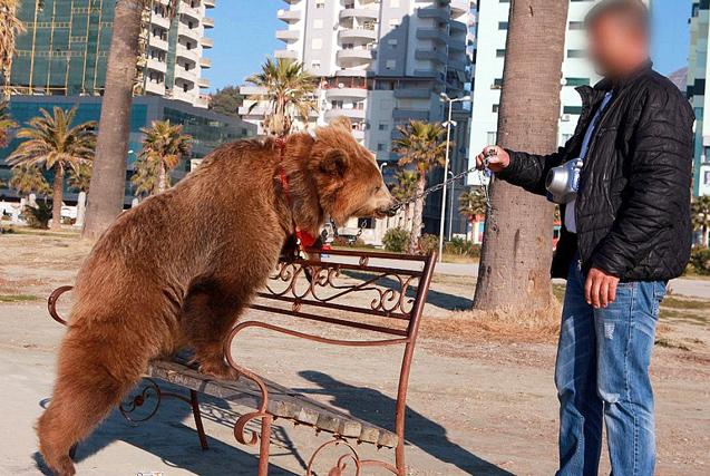 阿尔巴尼亚棕熊被迫招揽生意 惨遭虐待