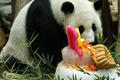 马来西亚动物园为10岁大熊猫夫妇庆生