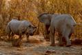黑犀牛挑战两头大象