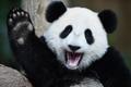 马来西亚大熊猫庆生