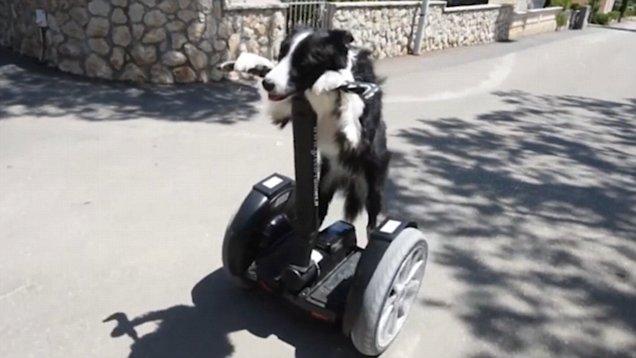 克罗地亚一牧羊犬会耍上百种技能 聪明机智惹人爱
