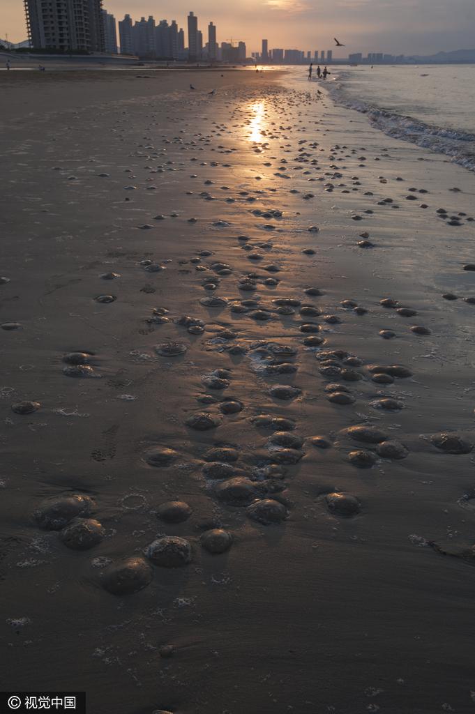 山东烟台现大量海蜇 密麻分布海滩上