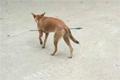 大学校园流浪狗被人用箭射穿肚子