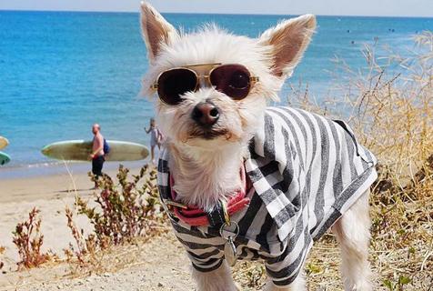 约克夏犬狗场获救 穿着时尚变身网红